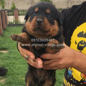 professional-short-snout-female-rottweiler-puppy