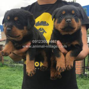 professional-short-snout-female-rottweiler-puppy1