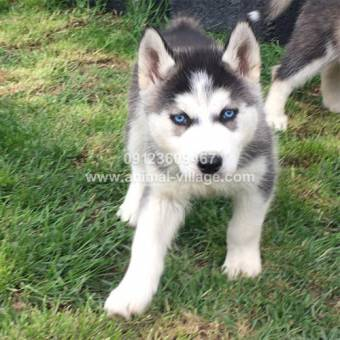 blue-eye-white-black-husky2