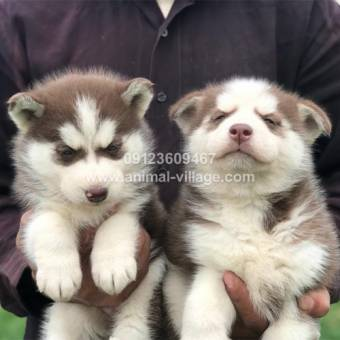 brown-white-gold-husky-puppy