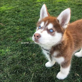 ice-eyes-gold-husky-puppy