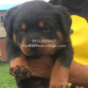 professional-short-snout-male-rottweiler-puppy